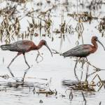 """Glossy Ibises"" by WildAboutNaturePhotography"