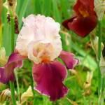 """Giverny Bearded Iris"" by MaryLorArt"