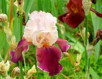 Giverny Bearded Iris