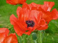 Giverny Red Poppy