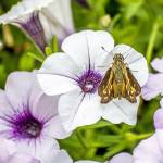 """Skipper Butterfly"" by WildAboutNaturePhotography"