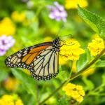 """Monarch Butterfly"" by WildAboutNaturePhotography"
