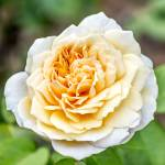 """Pale Yellow Rose"" by WildAboutNaturePhotography"