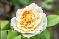 Pale Yellow Rose
