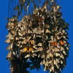 """Santa Cruz Monarch Butterfly Cluster"" by GlennFrancoSimmons"