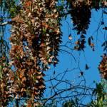 """Santa Cruz Monarch Butterfly Clusters"" by GlennFrancoSimmons"