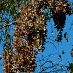 """""""Monarch Butterfly Clusters"""" by GlennFrancoSimmons"""