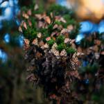 """""""Pacific Grove Butterfly Cluster"""" by GlennFrancoSimmons"""