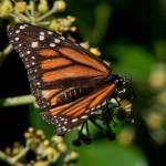 """Monarch Butterfly"" by GlennFrancoSimmons"