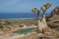 Bottle-tree-Socotra