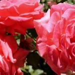"""""""Roses"""" by SaraJunebug"""