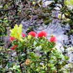 """""""Sacred Ohia-Lehua 6"""" by LUCILLE"""