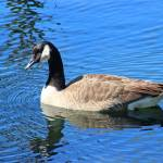 """Canada Goose in Blue Water 2016"" by KsWorldArt"