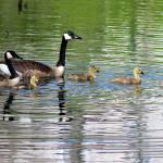 """Canada Goose Family 2016_IMG_4488.FAA.crop"" by KsWorldArt"