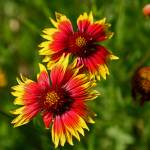 """Indian Blanket: Texas Hill Country"" by PaulHuchton"