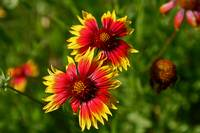 Indian Blanket: Texas Hill Country