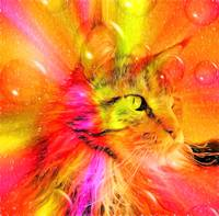 Funky Portrait of a Maine Coon cat