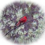 """Male Cardinal in Spring Square Vignette"" by KsWorldArt"