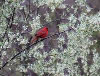 Male Cardinal in Spring