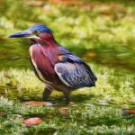 """Sanibel Green Heron"" by DBenoit"