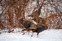 Winter Turkeys