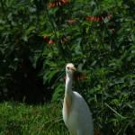 """""""Cattle Egret in a Field of Wildflowers"""" by rhamm"""