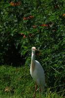 Cattle Egret in a Field of Wildflowers