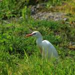 """Cattle Egret in a Pasture"" by rhamm"