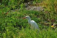 Cattle Egret in a Pasture
