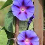 """""""Blue Wildflowers"""" by rhamm"""