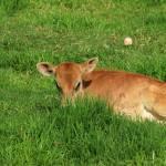 """Calf in a Field of Grass"" by rhamm"