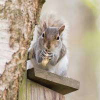 Contented Squirrel - Natalie Kinnear Photography Art Prints & Posters by Natalie Kinnear