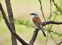 WCC_3615- Red-backed Shrike