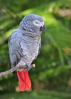 WCC_0133- African Grey Parrot