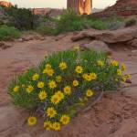 """Wildflowers blossom in Arches Nat"