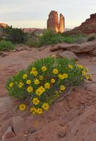 Wildflowers blossom in Arches Nat'l Park