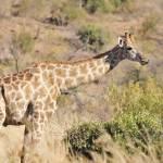 """WCC_0785- Giraffe"" by photocell"