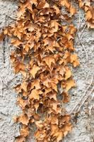 Dried Ivy Leaves
