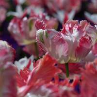 Candy Parrot Tulip Art Prints & Posters by Tracy Hall