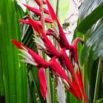 """""""Hawaiian Heliconia"""" by joeyartist"""