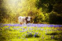 Texas Longhorn in Dreamy Light - Shops12x18 - USE