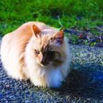 """Ajax the Orange Tabby Cat Enjoying the Sun"" by VeganMe"