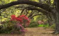 Spring Azalea Flowers Blooming in the Lowcountry o