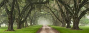 Live Oak Tree Tunnel Over Southern Plantation Entr