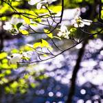 """Flowering Dogwood Tree Along a River, New Jersey"" by George_Oze"