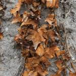 """Leaves on a Concrete Wall"" by rhamm"