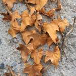 """Dried Leaves on a Concrete Wall"" by rhamm"