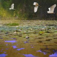 water lilies and egrets Art Prints & Posters by r christopher vest