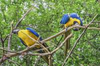 South American Couple of Parrots