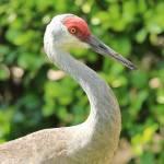 """""""Bright Sandhill Crane Profile"""" by Groecar"""